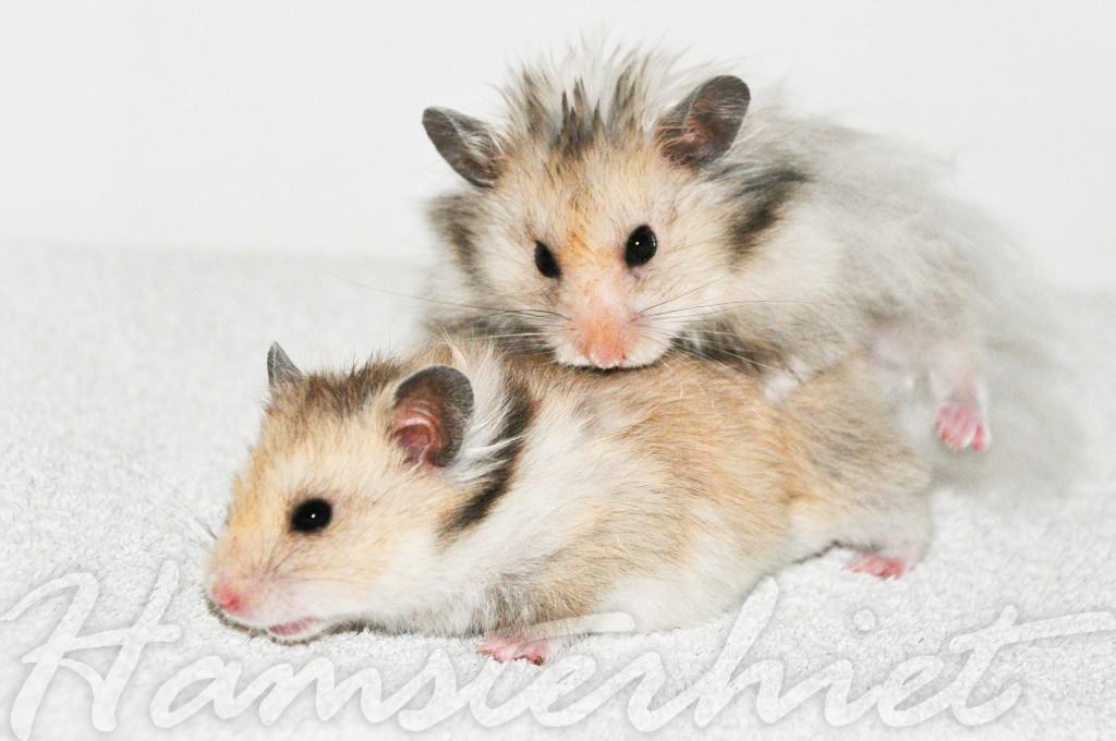 Wwww seks avlsveiledning hamsterhiet syrisk hamsteroppdrett