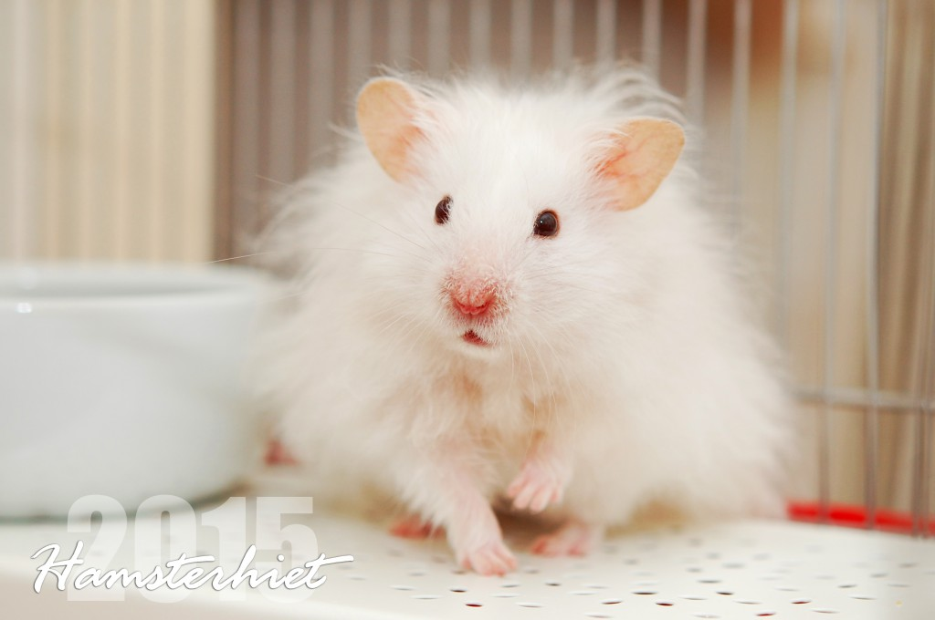 Bilderesultat for hamsterhiet syrisk