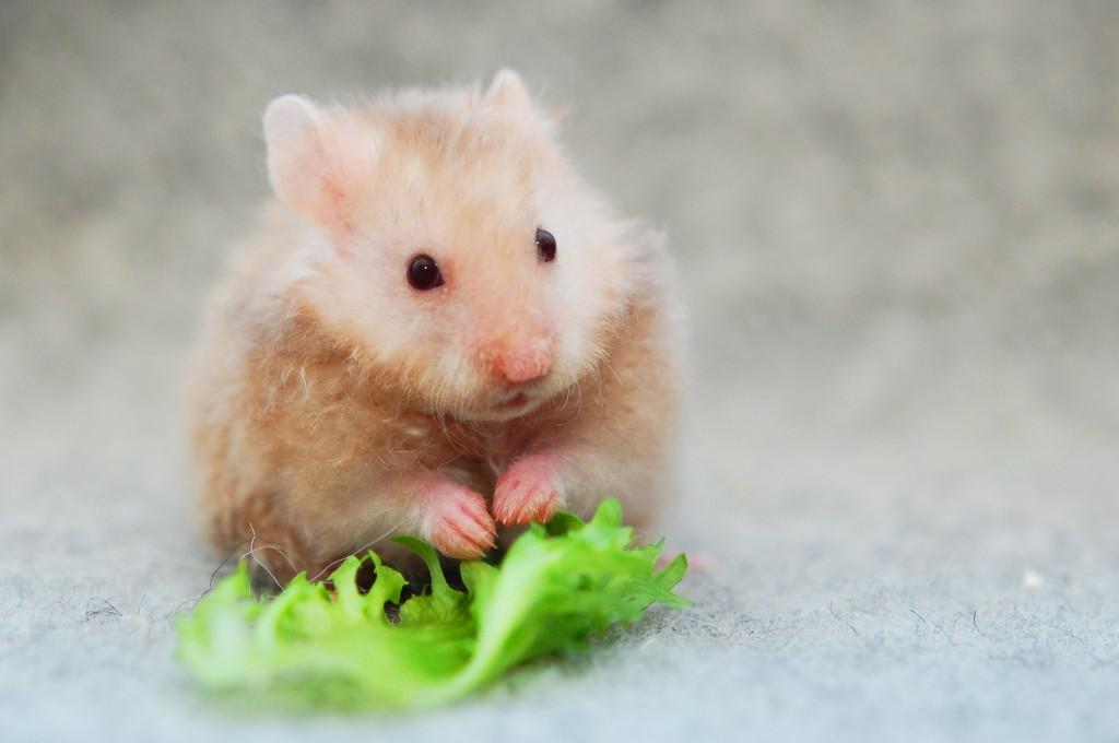 Bilderesultat for hamsterhiet rex
