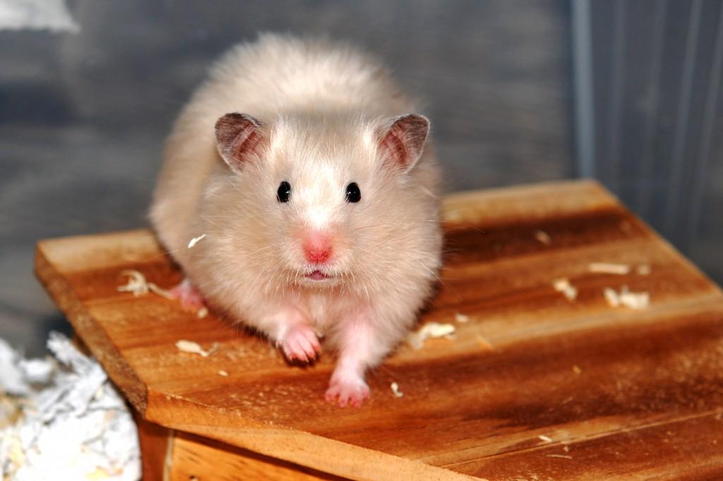 Bilderesultat for hamsterhiet kull 46