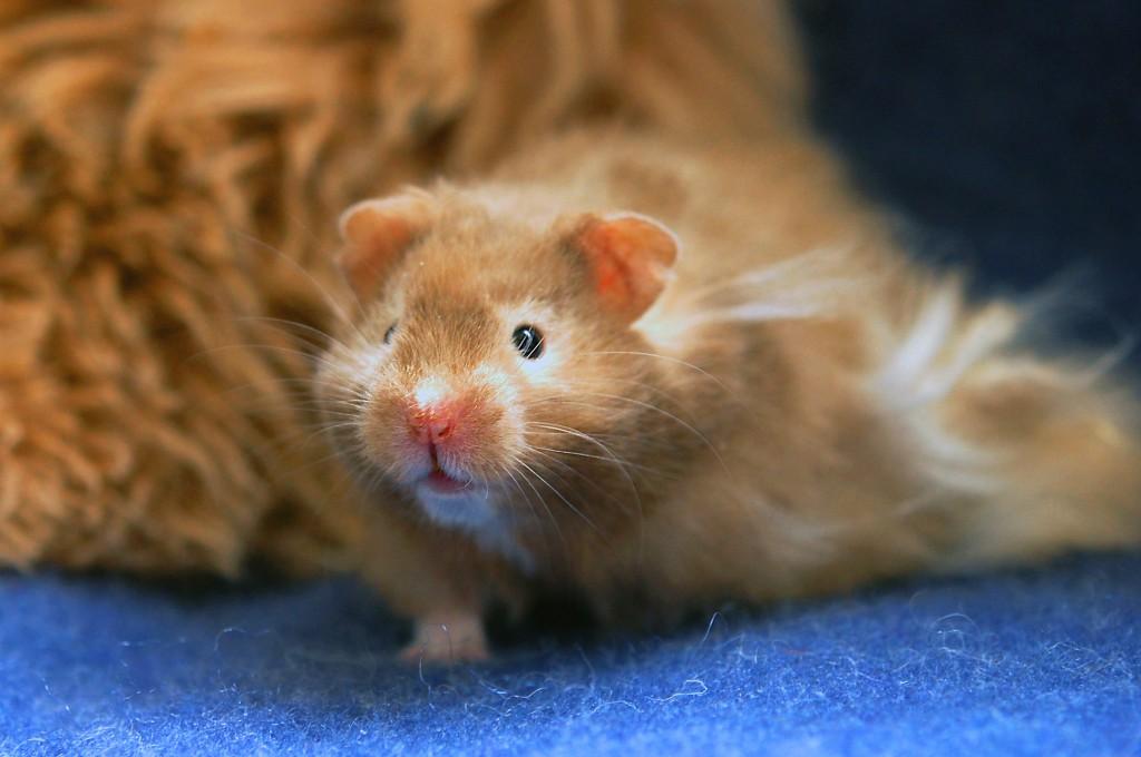 Bilderesultat for hamsterhiet thor