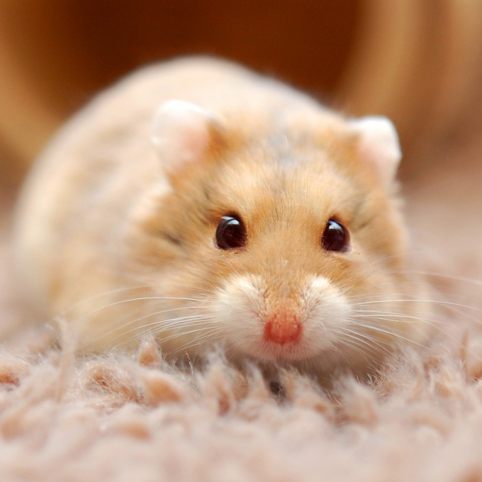 Bilderesultat for hamsterhiet moria