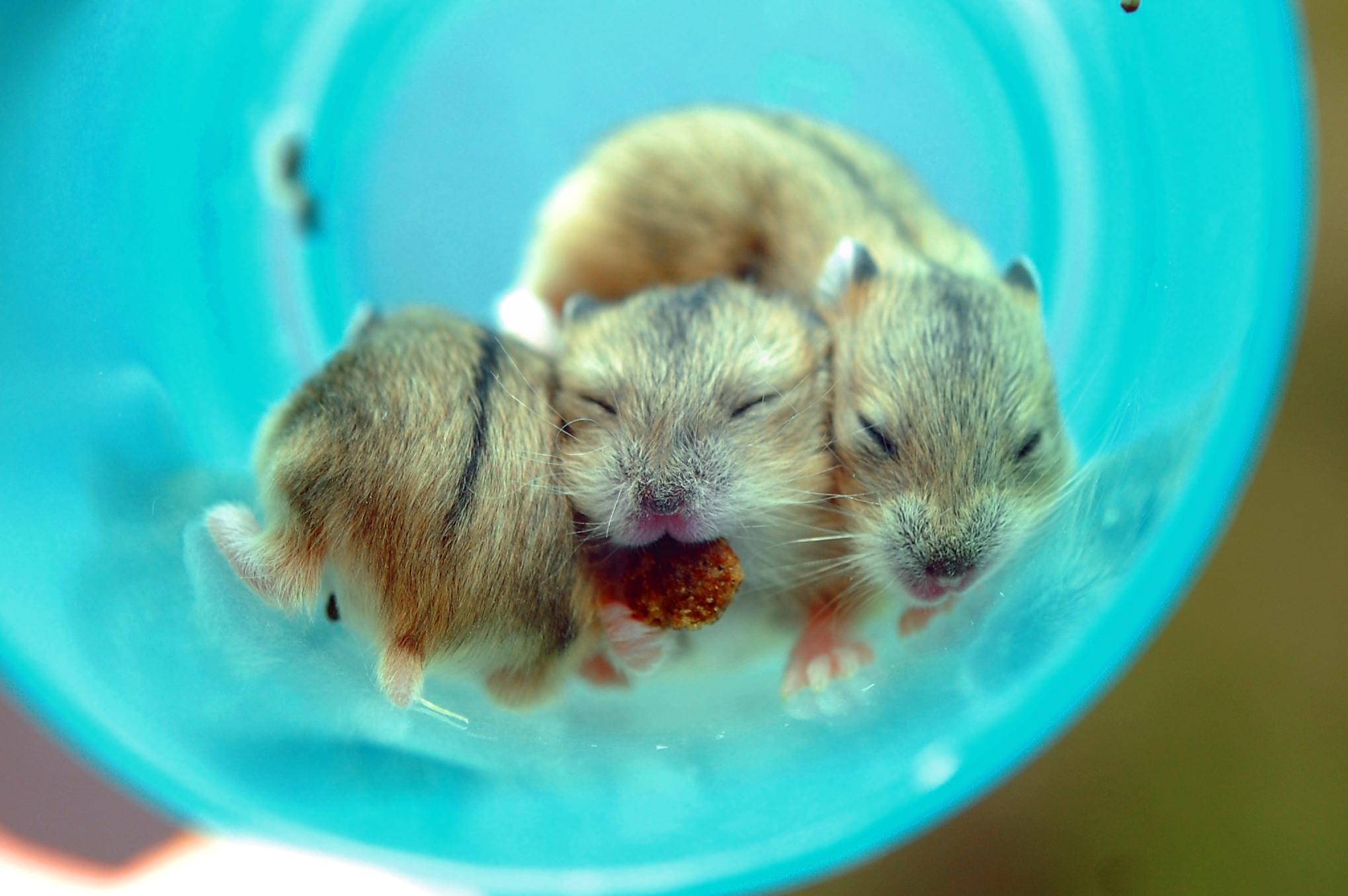 Bilderesultat for hamsterhiet c kull