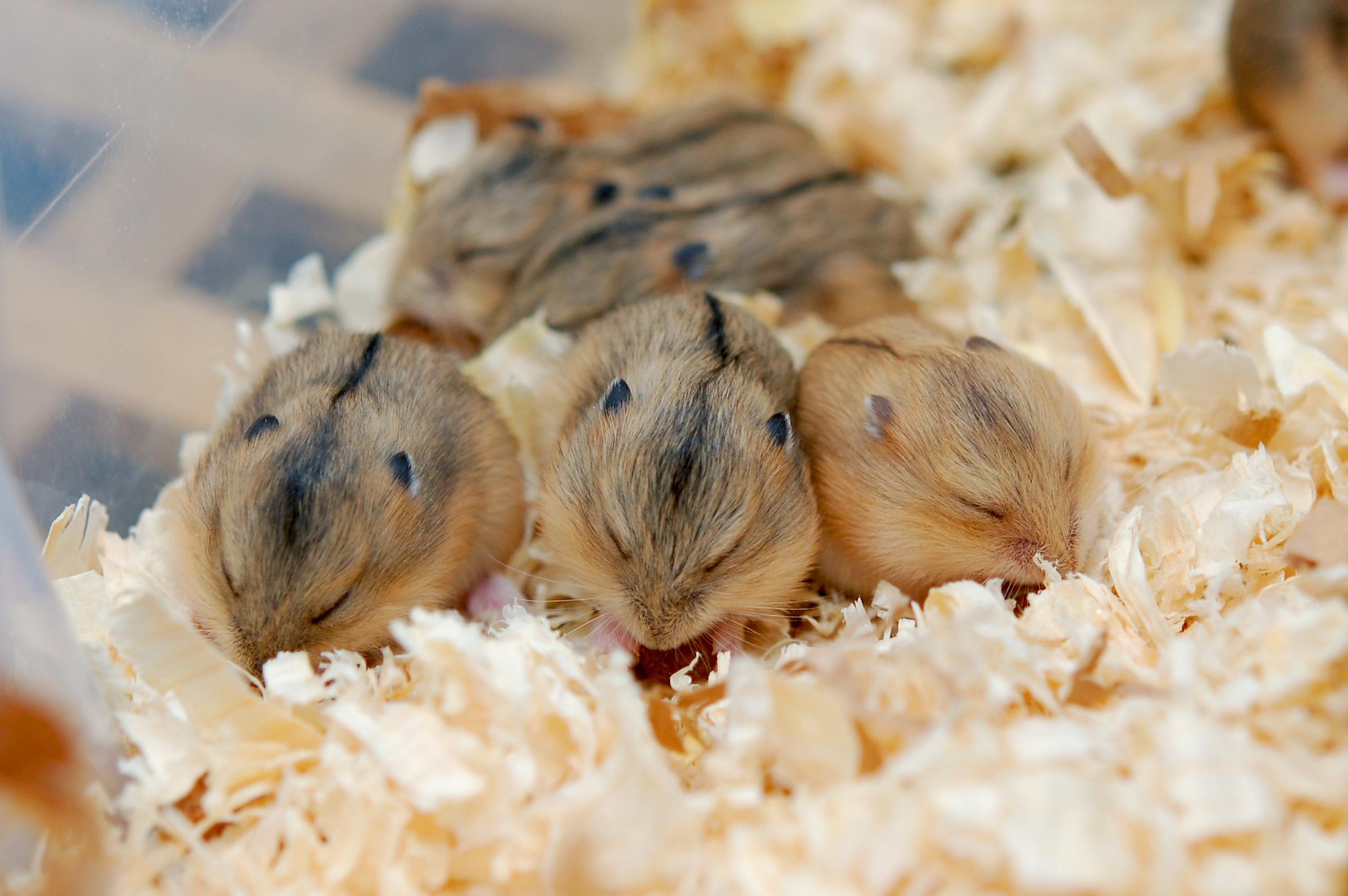 Bilderesultat for hamsterhiet d kull