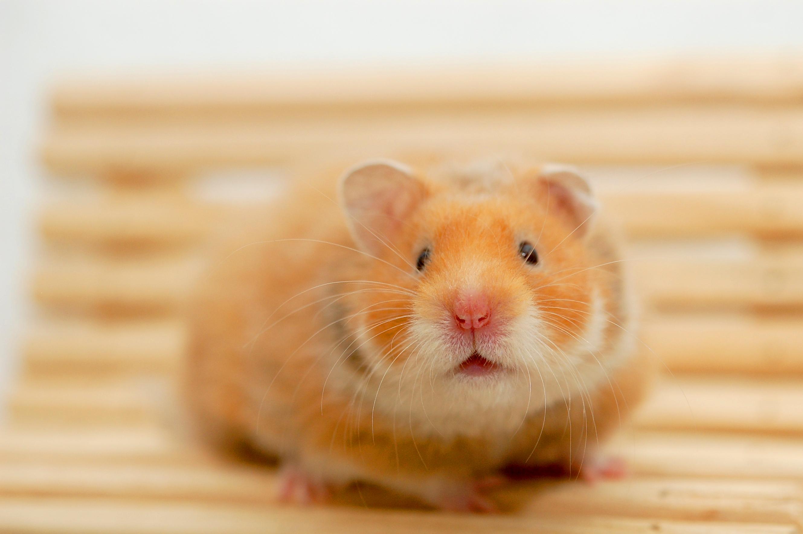 Hamstersxxx